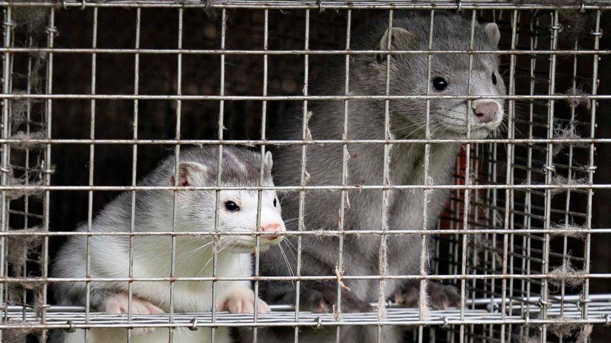 Denmark kills 15M animals to stop re-emergence of govt mutation in humans – NBC New York