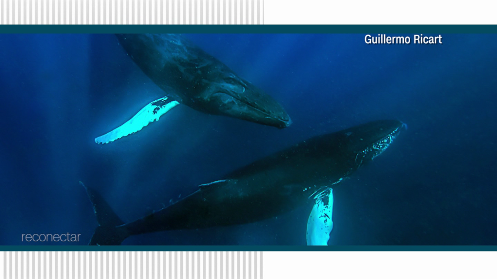 Reconnect with the Dominican Sea and the humpback whales