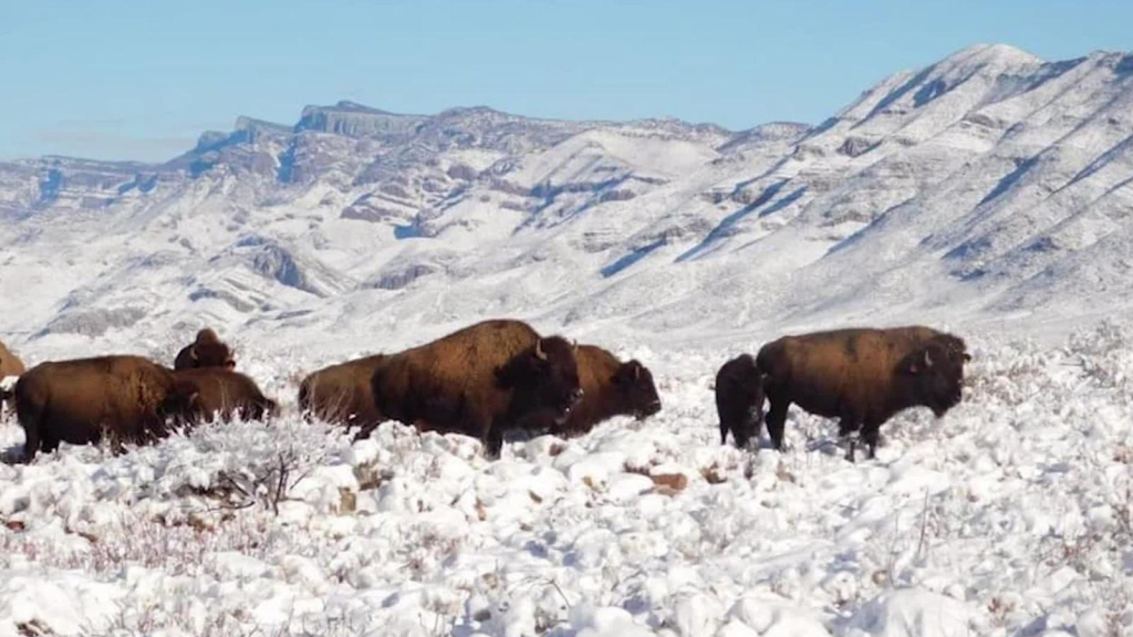 After 100 years and on the brink of extinction, bison have been sighted in Mexico