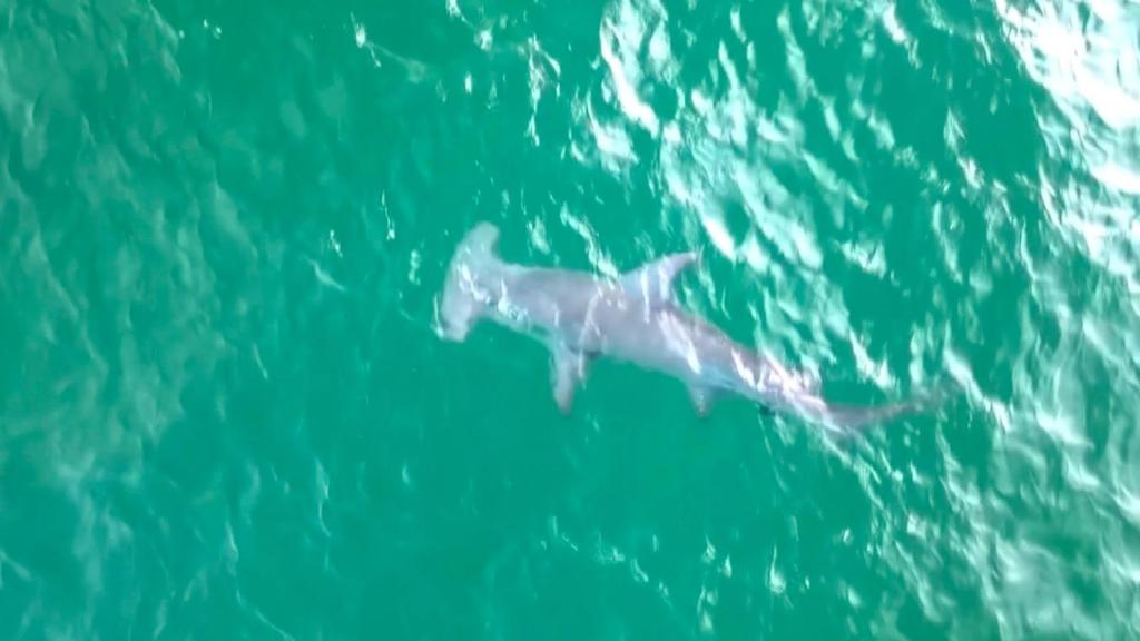 Hammerhead shark spotted off the coast of Florida