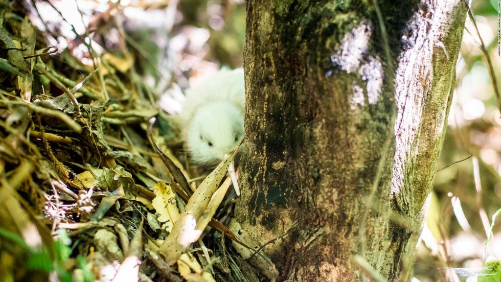 This was a manokura, a deceased white kiwi