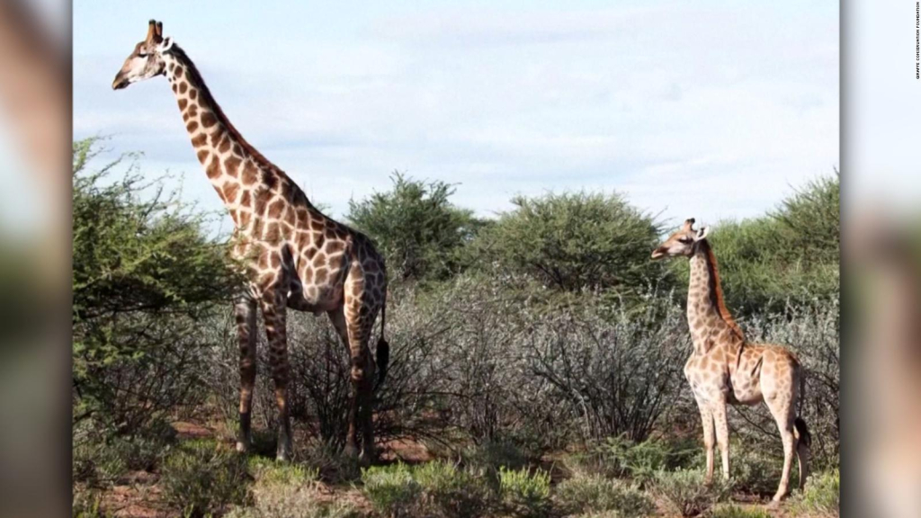 Dwarf giraffes are found in two African countries