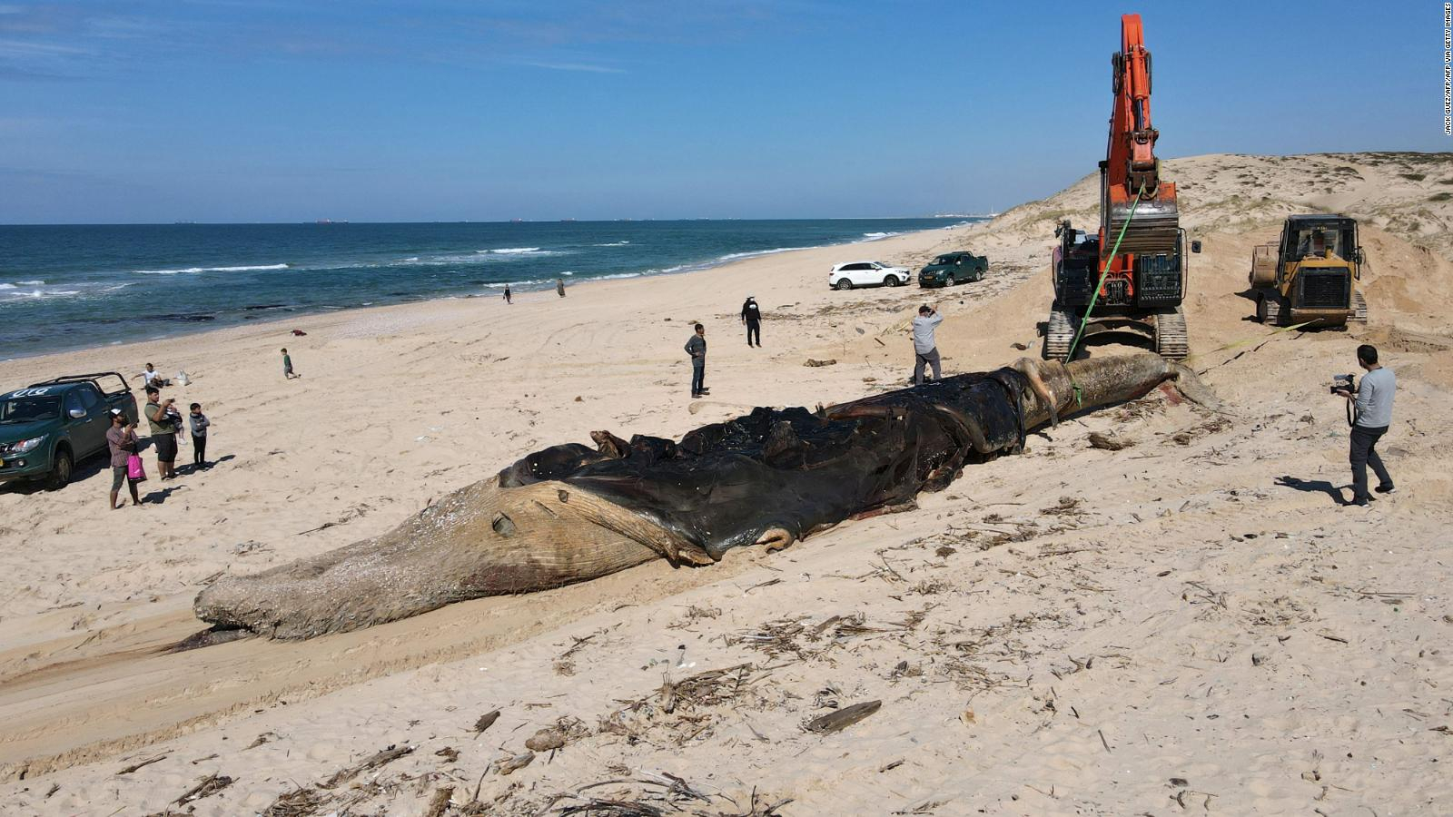 "An ""oil spill"" pollutes Israel's shores.  There are fish, turtles, and even a dead whale  Video"