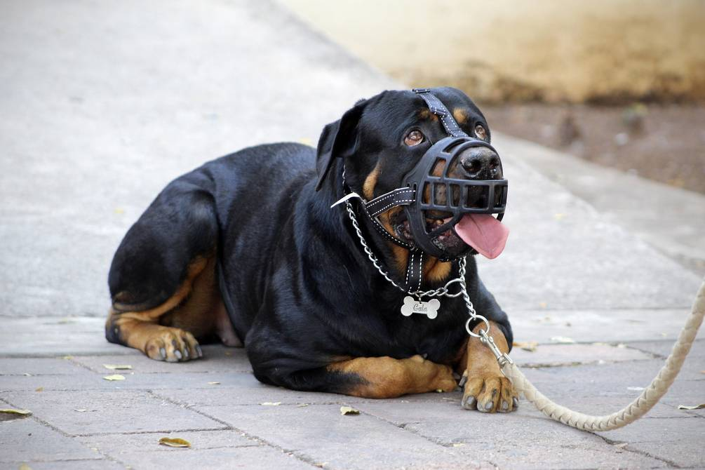 How dangerous is a Rottweiler in the home?  |  Society |  magazine