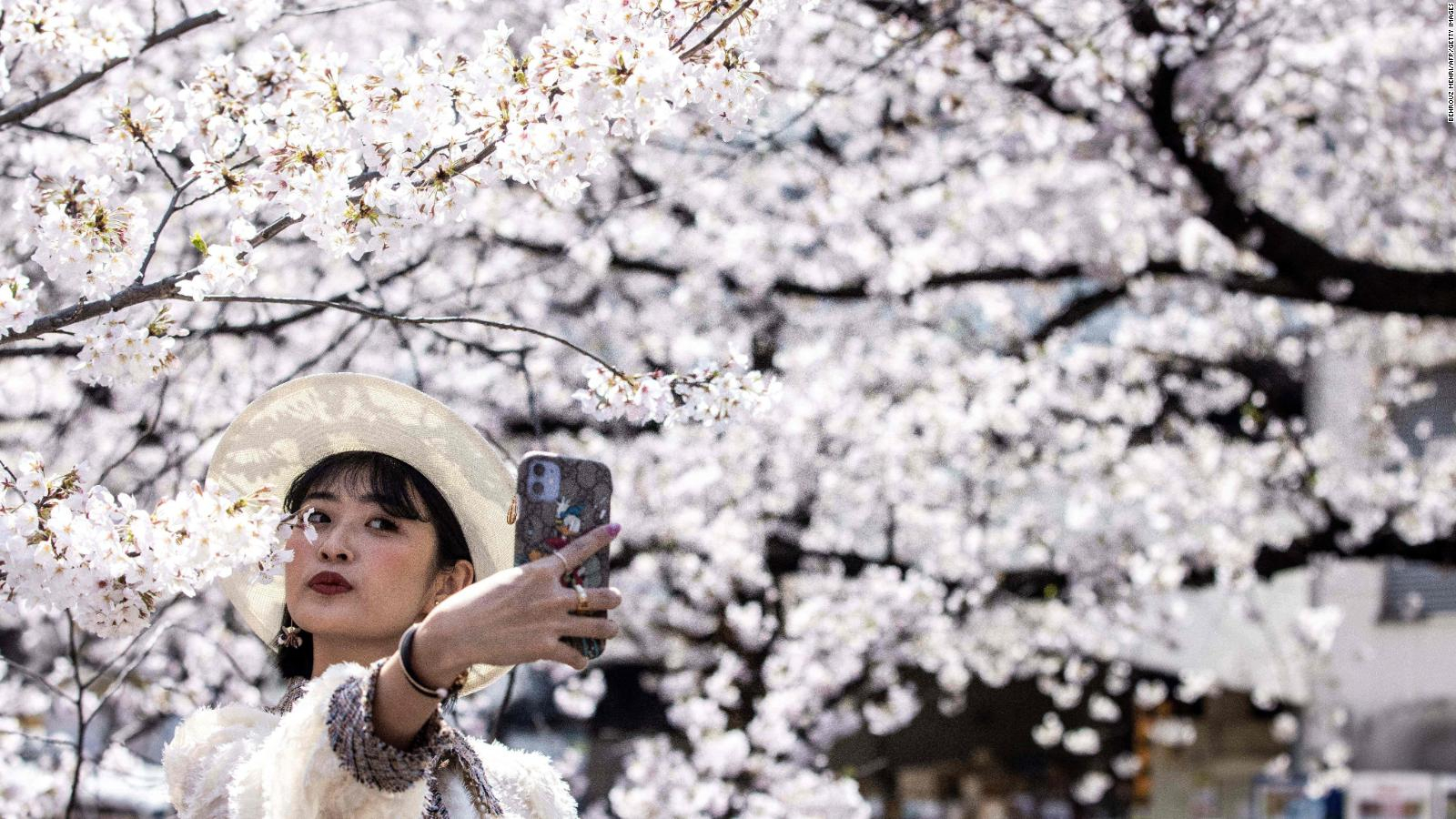 Cherry blossoms in Japan are showing alarming signs, researchers said