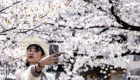 Why is cherry blossoming a concern in Japan?