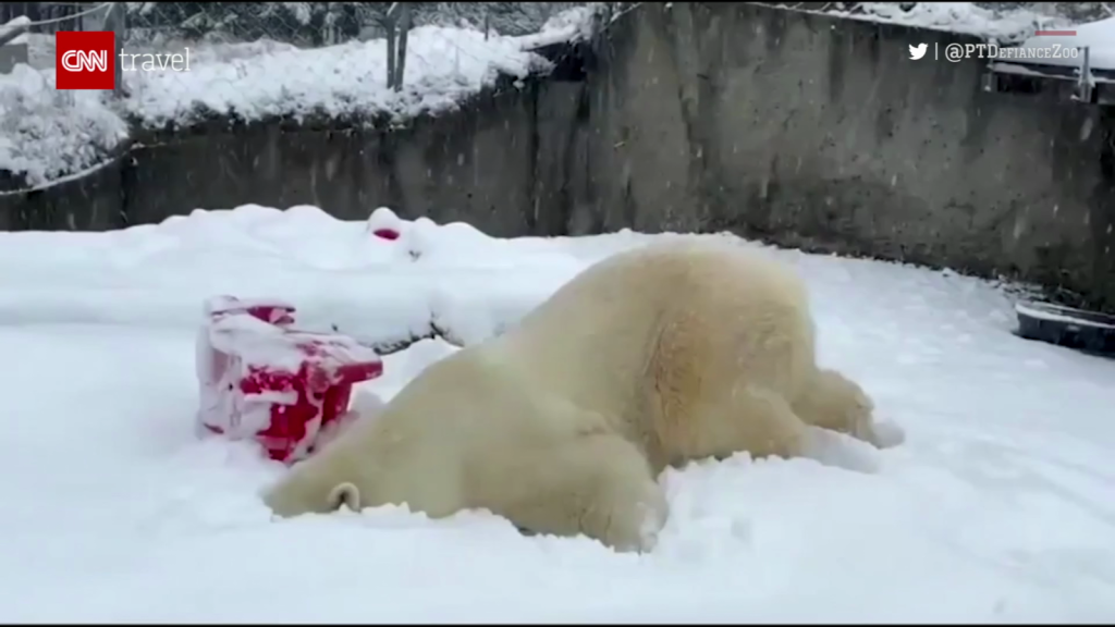 Drop everything and watch this polar bear playing in the snow