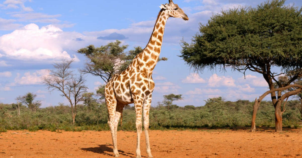 Genomics is evidence that there are four species of giraffe