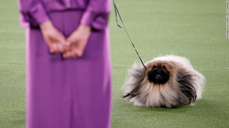 Pekingese wasabi wins Westminster Dog Show