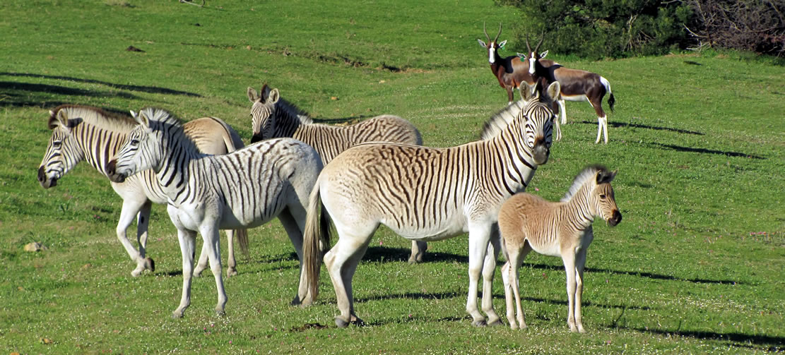 Quagga, the half-zebra that became extinct by poaching and science came back to life