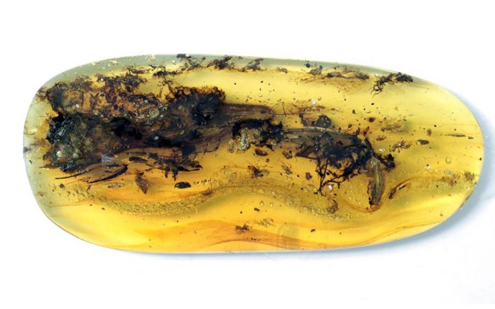 What was believed to be a small dinosaur trapped in amber turned out to be 'a strange animal'