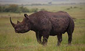 A newly discovered enormous rhino species was among the world's largest mammals.