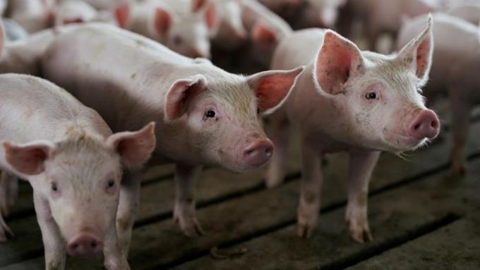China says swine fever in the Dominican Republic will affect trade