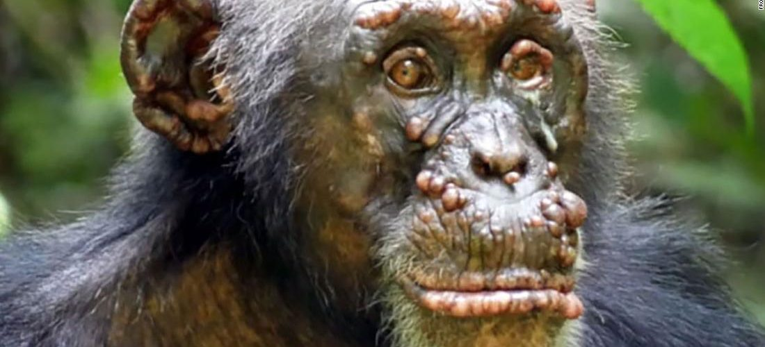 Leprosy was first identified in wild chimpanzees